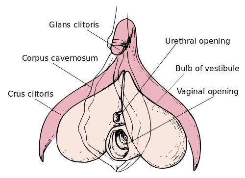 Internal clitoris